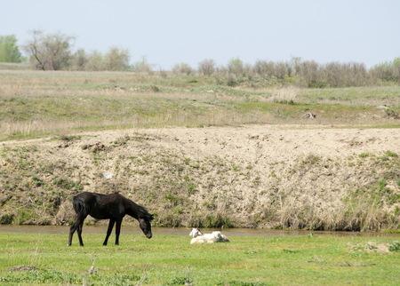 steppe, prairie, veld, veldt. Bright sunshine, spring in the desert. Horses grazing near the river Stock Photo