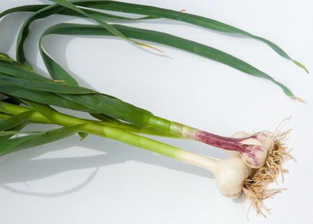 garlic.Garlic is not ripened on the stem of the leaf. a strong-smelling pungent-tasting bulb, used as a flavoring in cooking and in herbal medicine. Stock Photo