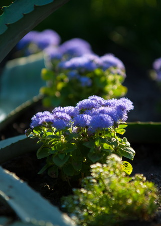 Ageratum littorale, (billygoat-weed, chick weed, goatweed, whiteweed) is a plant species native to Florida, the common name referring to Cape Sable inside Everglades National Park.