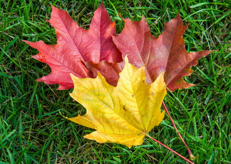 Autumn maple leaves on a green lawn. A tree with broad, in most species, curly leaves.