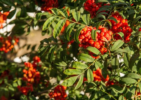 Rowan. The berries of mountain ash, a mountain ash, in particular the European Sorbus ausupariya Stock Photo