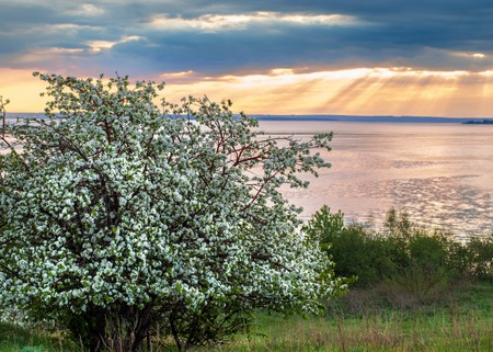 blossoming apple tree on sunset background.