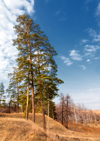 Pine forest in spring.  the season of spring. spring, springtime, springtide, prime. the season after winter and before summer, in which vegetation begins to appear,