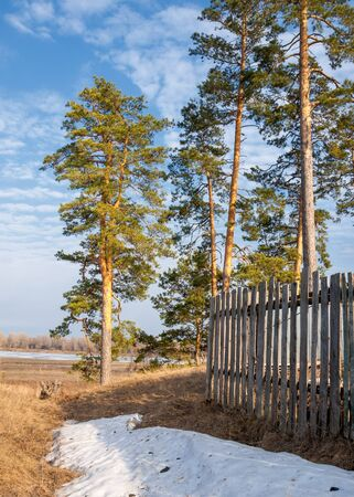 maleza: Pine forest in spring.  the season of spring. spring, springtime, springtide, prime. the season after winter and before summer, in which vegetation begins to appear,