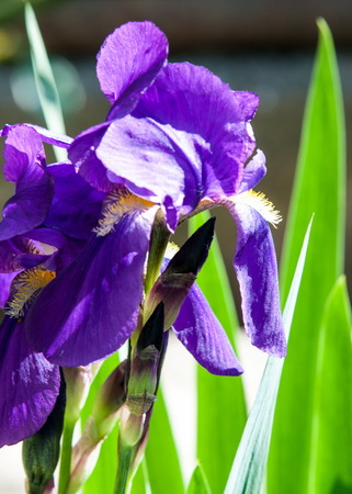 Iris flowers, Iris flowers. It takes its name from the Greek word for rainbow, which is also the name for the Greek goddess of the rainbow, the Iris