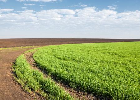 biomasa: Plántulas de invierno en el campo. hierba en el campo. Primavera, el trigo de invierno se vuelve verde. fondo agrícola de un campo con las filas de plántulas verdes. Jóvenes de trigo de invierno en el campo