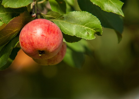 gules: Crabapple and Wild apple. Malus  is a genus of about 30–55 species of small deciduous apple trees or shrubs in the family Rosaceae