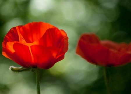 papaver. een kruidachtige plant met opzichtige bloemen, melksap, en afgerond zaad capsules. geneesmiddelen zoals morfine en codeïne Stockfoto