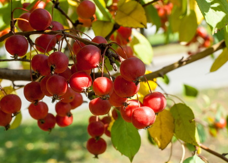 Crabapple and Wild apple. Malus  is a genus of about 30�55 species of small deciduous apple trees or shrubs in the family Rosaceae Stock Photo - 75766968