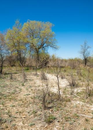 subtropical: steppe, prairie, veldt, veld.  Spring Central Asia. Kazakhstan. turanga poplar.  Euphrates Poplar Stock Photo