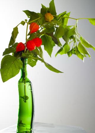 Physalis. For the European shrub also called ground cherry, Prunus fruticosa.