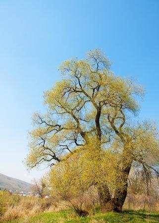 Salix fragilis. crack willow. brittle willow,  willow.