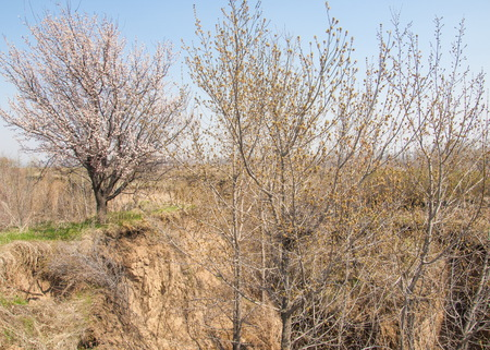 Spring shade under the trees. growth apricot trees provide shade