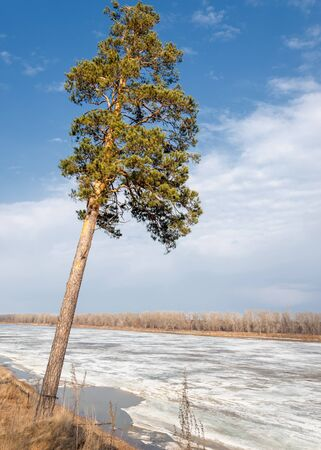 Pine forest in spring. River ice.  the season of spring. spring, springtime, springtide, prime. the season after winter and before summer, in which vegetation begins to appear, Stock Photo