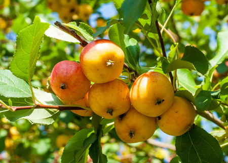 horticultural: Crabapple and Wild apple. Malus  is a genus of about 30�55 species of small deciduous apple trees or shrubs in the family Rosaceae