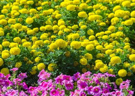 herbaceous: Texture background. Flower beds city, Marigolds, Petunias Stock Photo