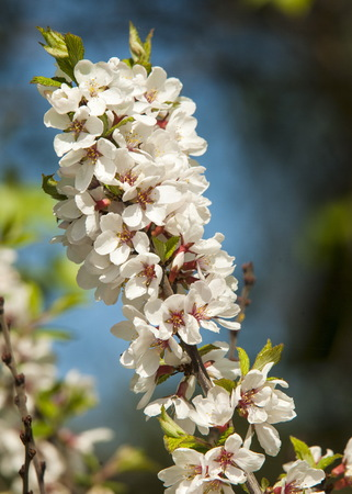 glandular: Flowers of nanking cherry prunus tomentosa in spring. Spring flower: Blooming Rosaceae. Beautiful cherry blossom. Pink cherry blossoms in springtime. Ornamental garden with majestically blossoming large cherry trees on a fresh green lawn