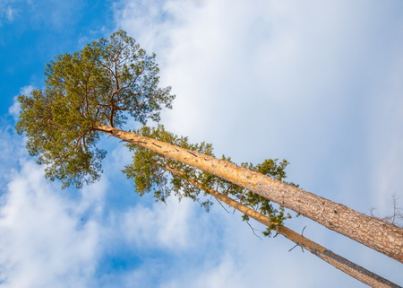 pines in the forest seen from ground up. pine, blue sky in the clouds