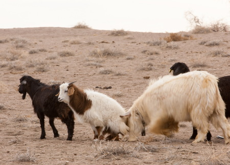 steppe, prairie, veldt, veld. steppes sand goats.  a large area of flat unforested grassland in southeastern Europe or Siberia.