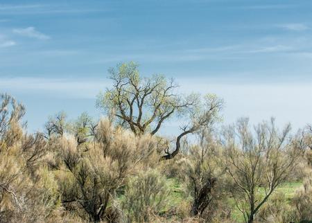 Spring steppe desert saxaul. haloxylon Stock Photo