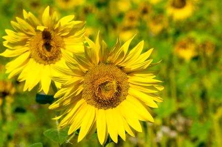 sunflower seeds: A field of sunflowers. a tall North American plant of the daisy family, with very large golden-rayed flowers. Sunflowers are cultivated for their edible seeds Stock Photo
