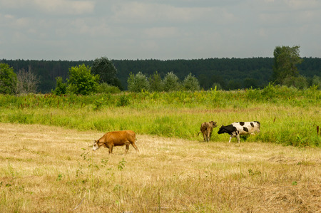 Cows in the field. Domestic dairy animal, the female cattle Stock Photo