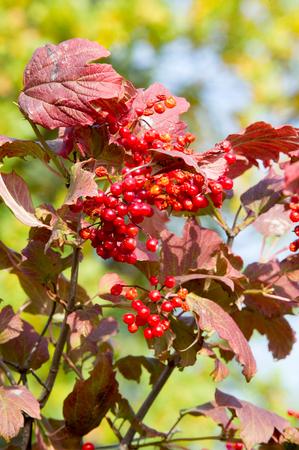 texture, background. viburnum in fall colors. crimson red viburnum leaves. vibrant viburnum berries. edible viburnum. a shrub or small tree of temperate and warm regions,