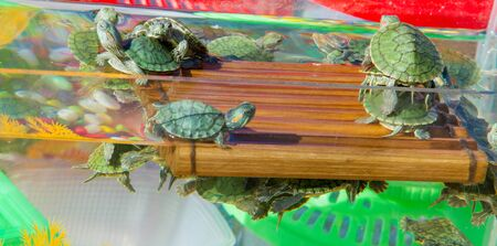 sold small: turtle aquarium, small turtles are sold in the market as pets