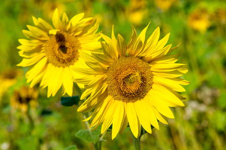 A field of sunflowers. a tall North American plant of the daisy family, with very large golden-rayed flowers. Sunflowers are cultivated for their edible seeds Stock Photo