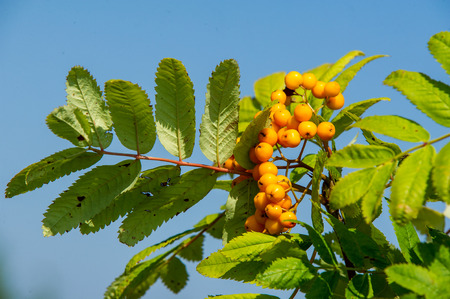Rowan red berries. Brush berries and other small fruits. Rowan tree in the middle of summer