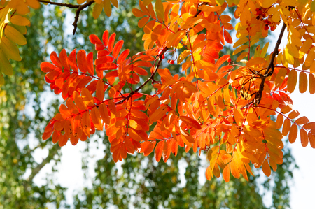 rowanberry: texture, background. Autumn leaves of a mountain ash. Bright yellow autumn leaves photography backlit. amazing time to the Indian summer. Rowan Stock Photo