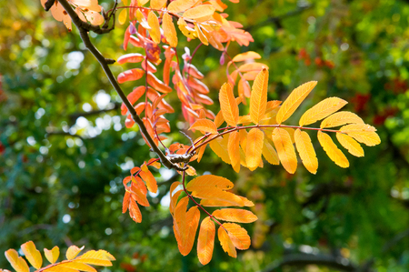 rowanberry: texture, background. Autumn leaves of a mountain ash. Bright yellow autumn leaves photographed backlit. amazing time to the Indian summer Stock Photo