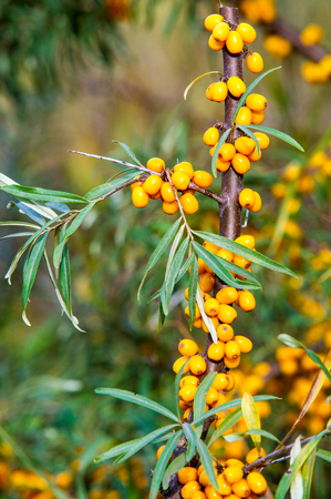 Hippophae is a genus of sea buckthorns, deciduous shrubs in the family Elaeagnaceae. It is also referred to as sandthorn, sallowthorn, or seaberry.