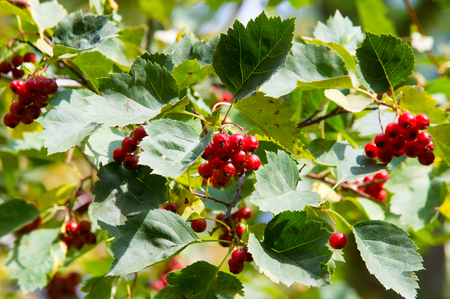 Texture, background. Hawthorn berries, how, vnitethorn, Crataegus,  a thorny shrub or tree of the rose family, with white, pink, or red blossoms and small dark red fruits (haws). Stock Photo