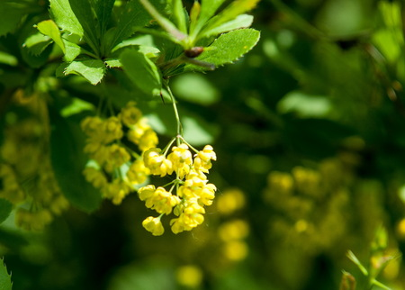 barberries: Berberis Ilicifolia. Branch of a blossoming barberry . yellow flowers (barberries) on bush. bee on a flower,