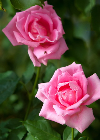 rose. a prickly bush or shrub that typically bears red, pink, yellow, or white fragrant flowers