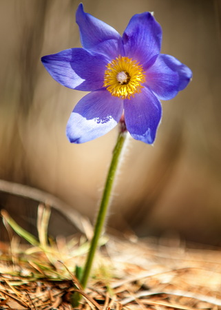 pasque flower, Pulsatilla patens. Pasqueflowers (Pulsatilla patens) on the field with grass. pasque flower. Stock Photo