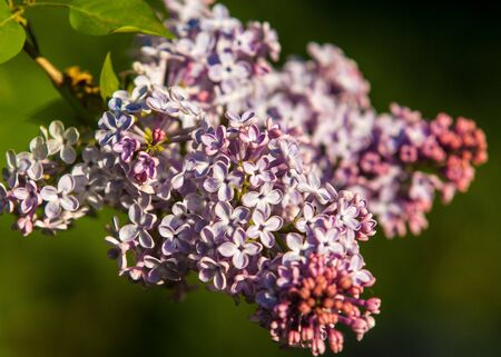 Lilacs grow in spring. The setting sun lit up the lilac. The strong aroma of a bouquet of lilacs