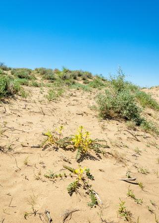Sands Desert Spring. spring under the scorching sun in the semi-desert sands bloom
