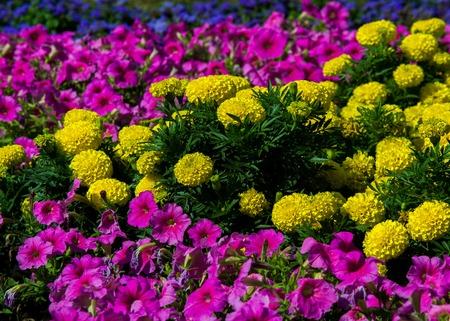 Tagetes,  Petunia, Petunia  atkinsiana. Flower beds Stock Photo