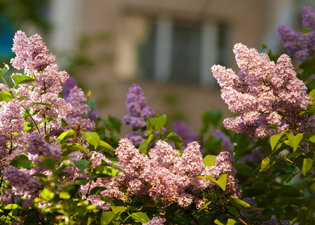 lilac. lilacs bloomed in early spring. The fragrant smell of lilac flowers Stock Photo