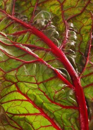 beet leaves. closeup of a backlit mangold leaf. fresh vegetables - spinach beet isolated on the white background.