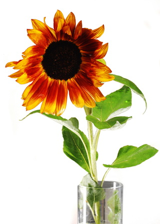 sunflower seeds: Sunflower on a background of black. The bright colors of summer Stock Photo