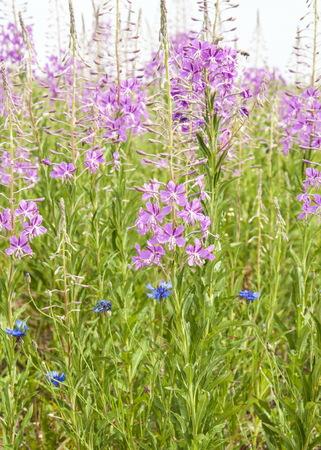 The wild medicinal plant. Fireweed. Epilobium angustifolium. Chamerion angustifolium. Field in a midland of Russia