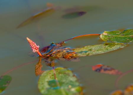 Persicaria, bistort, bistort summer lake Stock Photo