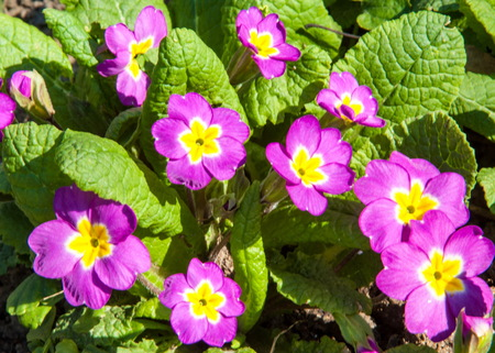 rosa: magenta primroses. Closeup of primrose flower blossom with red or purple and yellow leaves