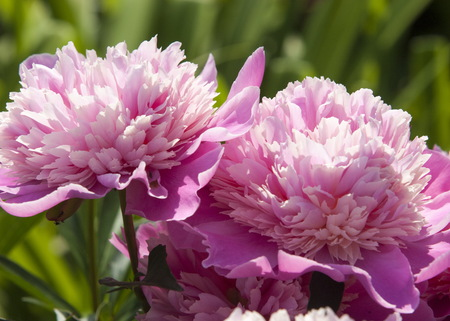 Paeonia (plant). Magenta peony flower (Paeonia lactiflora).
