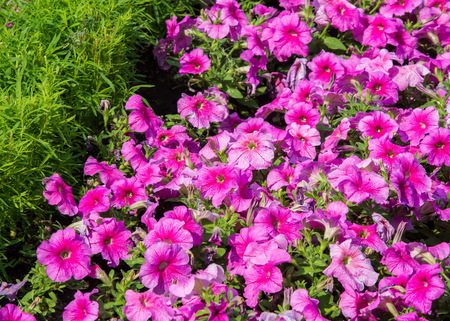 petunia flowers. a plant of the nightshade family with brightly colored funnel-shaped flowers. Native to tropical America Stock Photo - 78676380