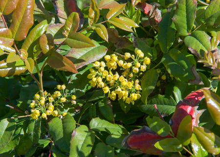 Flowers barberry a thorny shrub that bears yellow flowers and flowers barberry a thorny shrub that bears yellow flowers and red or blue black mightylinksfo