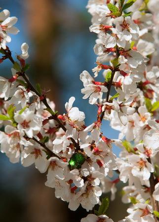 Flowers of nanking cherry prunus tomentosa in spring. Spring flower: Blooming Rosaceae. Beautiful cherry blossom. Pink cherry blossoms in springtime.